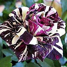 Grün: Ga 100 Rainbow Rose Seeds Wunderschöne