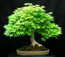 Grün Japanischer Ahorn Acer palmatum Bonsai
