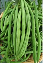 Grüne Bohnen-Samen: Kentucky Wonder Pole Bohnen