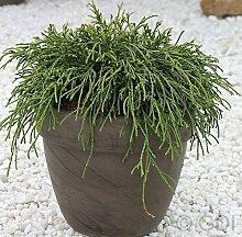 Grüne Fadenzypresse 30-40cm - Chamaecyparis
