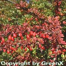 Grüne Heckenbeberitze 80-100cm - Berberis