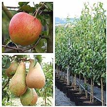 Grüner Garten Shop 2er Set Apfelbaum + Birnenbaum