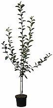 Grüner Garten Shop Apfelbaum Rubinola (S)
