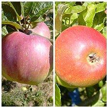 Grüner Garten Shop Duo Familien-Apfelbaum