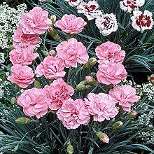 Grüner Garten Shop Federnelke, Dianthus