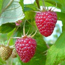 Grüner Garten Shop Himbeere Aroma Queen (R) mehrfachresistent herbsttragend aromatisch, mind. 60 cm, im 2 Liter Topf