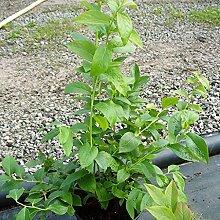 Grüner Garten Shop NEU! Hortblue Petite®, Heidelbeere, Kultur Heidelbeere, Blaubeere ca. 30-40 cm, Pflanze im 3 L Topf