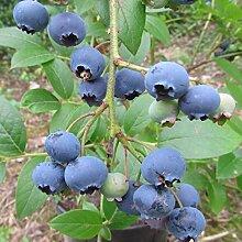 Grüner Garten Shop NEU! Hortblue Poppins®, Heidelbeere Kulturheidelbeere, Blaubeere ca. 30-40 cm, Pflanze im 3 L Topf