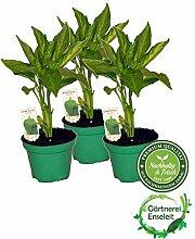 Grüner Paprika, Paprika Pflanze im 3er Set,3