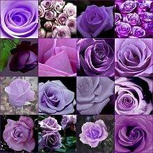 Günstige Rare Burpee Parfüm, Farbe, Lila Rose