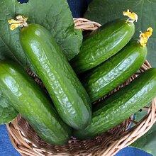 Gurke Beit Alpha - Gemüsesamen, 100 Samen/pack