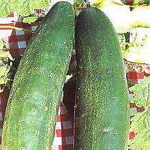 Gurke Burpless # 26 Gemüsesamen