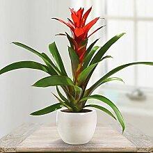 Guzmanie rot - 1 pflanze