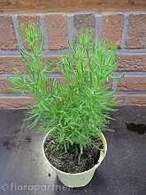 Gyros Kraut Artemisia caucasia Kräuter Pflanzen/3stk.