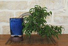 Hackberry bonsai tree (5)