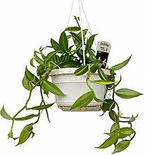 Hängeampel - Echte Vanille Pflanze - Vanilla