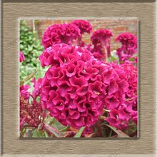 Hahnenkamm Blume Pflanze Bonsai Hahnenkamm Samen