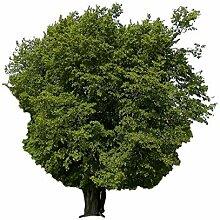 Hainbuche (Carpinus betulus) 1000 Samen