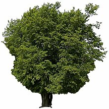 Hainbuche (Carpinus betulus) 25 Samen (Heimischer