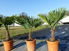 Hanfpalme 'M' Palme Trachycarpus fortunei