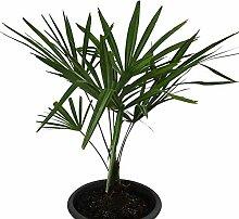 Hanfpalme 50-60 cm **Trachycarpus fortunei**