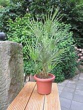 Hanfpalme, Trachycarpus, 1 Pflanze