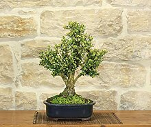 Harlandii Boxwood bonsai tree (11)