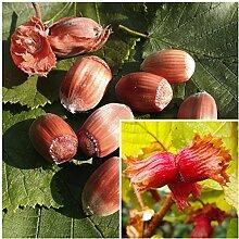 Haselnuss Busch-Baum Rote Zellernuss nussig-süß 150-200 cm braun-rotes Beerenobst Wildobst 1 Pflanze