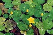 haus & garten 4 Pflanzen Seekanne Mini-Teichrose