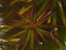 Haus&Garten 6 Junge Krebsscheren wunderschöne