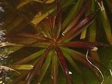 Haus&Garten 9 Junge Krebsscheren wunderschöne