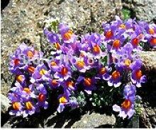 Hausgarten Pflanze 20 Samen Original Perennial