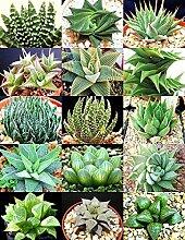 Haworthia MIX seltenes Leben sotnes Pflanze