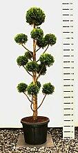 Hecken Formschnitt Gartenbonsai - Chamaecyparis lawsoniana Stardust - Zypresse - 220-230cm Topf 45Ltr.