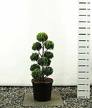 Hecken Formschnitt Gartenbonsai - Chamaecyparis