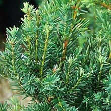 Heckenpflanze - Eibe Taxus media Hicksii -