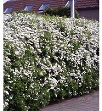 Heckenpflanze Spirea arguta