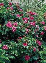 Heckenrose Rosa rugosa, Kartoffel-Rose, Apfel-Rose, Hagebutte, rosablühend mit großen fleischigen Hagebutten, 1 Pflanze im 2 Liter Topf