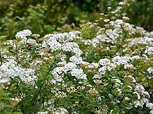 Heckenspiere / Prachtspiere - Spiraea vanhouttei -