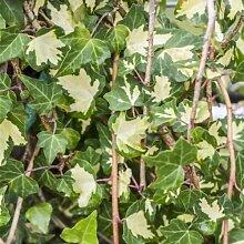 Hedera helix 'Goldheart' - Gelbbunter Efeu Kletterpflanze-150cm Topf gewachsen (100-150cm)