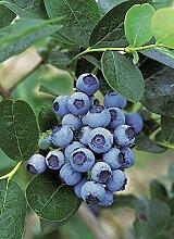 Heidelbeere 'Bluejay' - Blaubeeren Pflanze