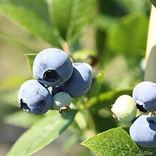 Heidelbeere 'Brigitta Blue' - Blaubeeren