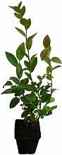 Heidelbeere Pflanze - DARROW - sehr intensives Aroma Gourmet-Sorte