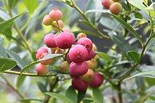 Heidelbeere Pinkbeere® Pink Lemonade® - 3j, sehr grosse, kräftige und robuste Pflanze, im14 lt. Topf