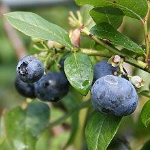 Heidelbeere Strauch Earlyblue süß-aromatisch