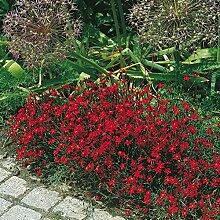 Heidenelke rot - Dianthus deltoides - rotblühende, duftende und kübelgeeignete Staude im 9 cm Topf - frisch aus der Gärtnerei - Pflanzen-Kölle Gartenstaude