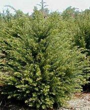 Heimische Eibe Taxus baccata 80-100 cm hoch im 7,5