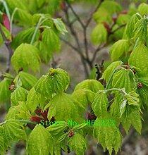 Heiß! 30 + amerikanische Ahornbaum-Samen große