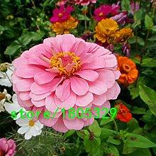 Heiße verkauf Rosa Zinnia Samen Balkon Hof von Blumen Topf Bonsai Zinnia elegans Samen Pflanze Blumensamen 100PCS