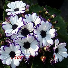 Heiße Verkaufs-Floristen Zinerarien Seed (100